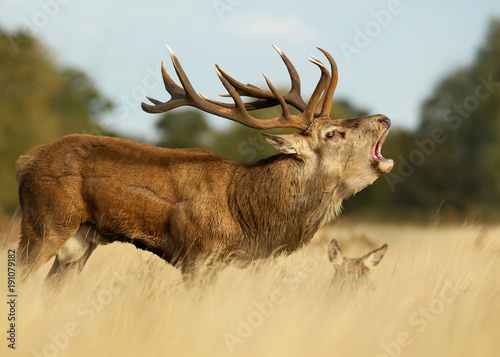 Red deer stag roaring near a hind during the rut