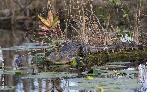 Juvenile alligator in natural habitat in the Okefenokee swamp