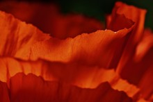 Poppy Leaves Looking Like A Wall Of Flame
