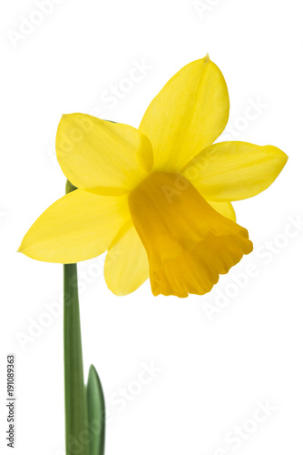 Papiers peints Narcisse Spring floral border, beautiful fresh daffodils flowers, isolated on white background. Selective focus
