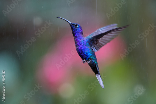 Obraz na płótnie Close up blue hummingbird, Campylopterus hemileucurus, glittering Violet Sabrewing hovering in the rain against abstract, colorful, pink and green background with rain tracks