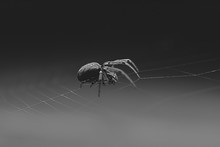 An Orb Weaver Spider On It's Tiny Silk Web Threads In Black And White
