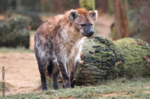 Foto op Aluminium Hyena Hyäne (Hyaenidae, Carnivora)