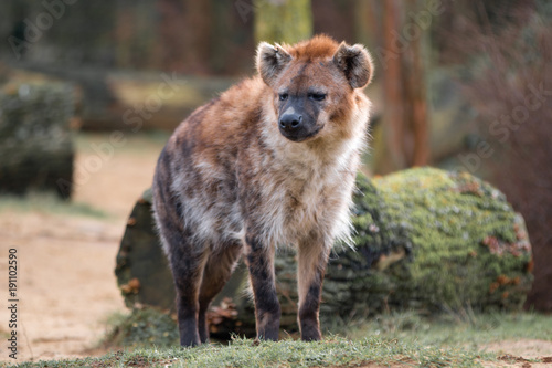 Foto op Canvas Hyena Hyäne (Hyaenidae, Carnivora)