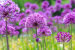 canvas print picture - Purple floral landscape. Persian onion flowers. Close-up picture. Awesome floral composition for banners, posters and other design projects.
