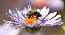 Detail Of Honeybee Sitting On The Violet Flower