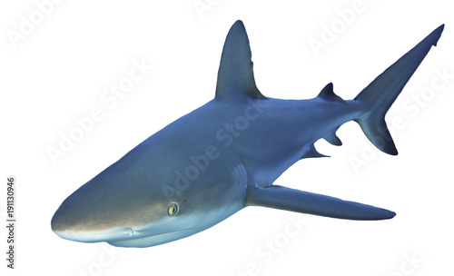 Fotografia, Obraz Caribbean Reef shark isolated on white background