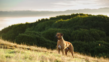 Rhodesian Ridgeback Dog Outdoor Portrait Standing On Hill With Fog