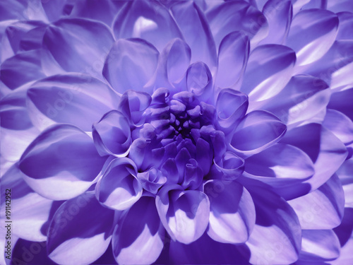 Poster Prune Macro flower violet dahlia. Background from a flower. Closeup. Nature.