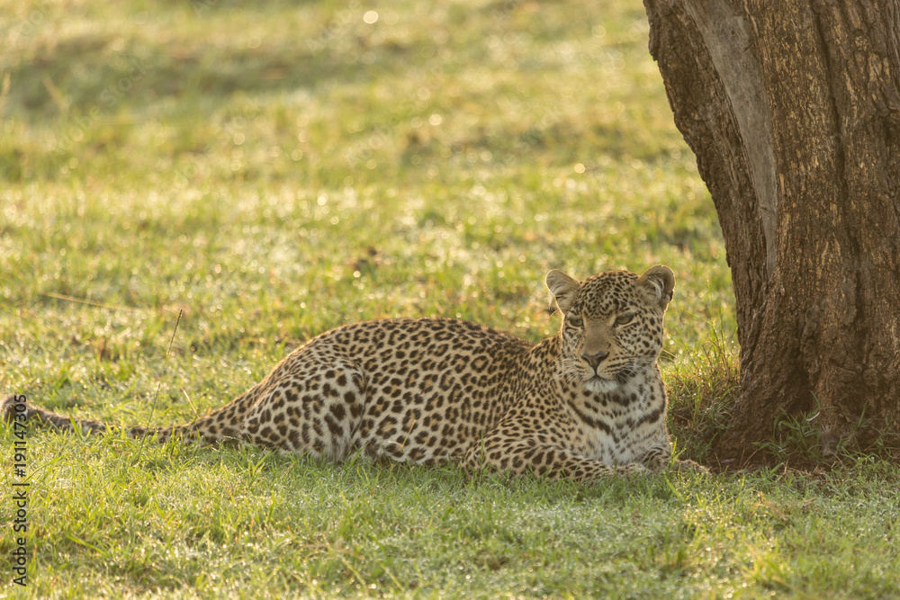 Poster Foto A Leopard At The Base Of A Tree On The Grasslands Of