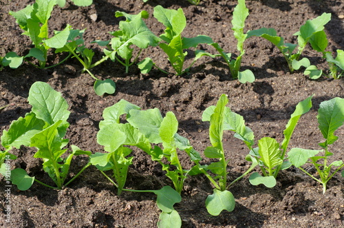 The young shoots of radish in the vegetable garden