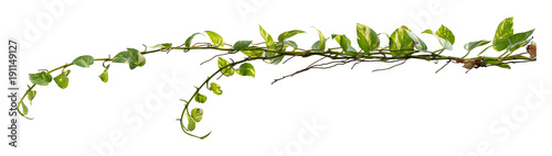 Plant tropical foliage vine, Ivy green hang isolated on white background, clippi Fototapet