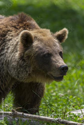 Fotografie, Obraz  Ours des Pyrénées (ours brun).
