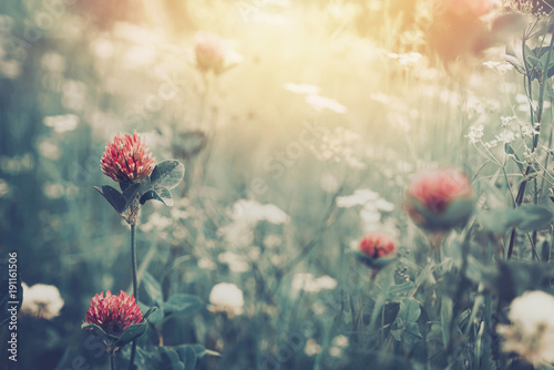 Beautiful spring summer background with wild meadow grass and clover flowers in the rays of sunset. Clover flowers close-up macro in nature on a natural background, soft focus.