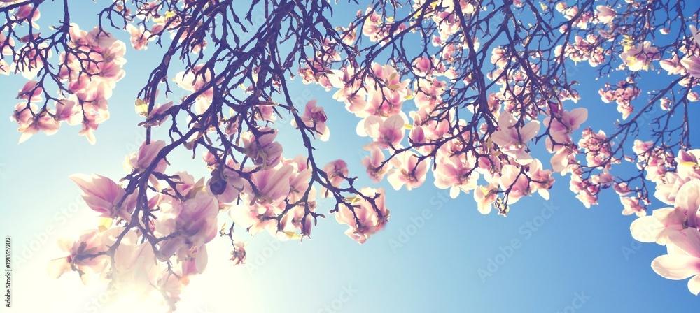 Fototapety, obrazy: Magnolien Blüte im Frühling