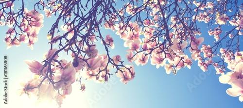 Foto op Canvas Magnolia Magnolien Blüte im Frühling