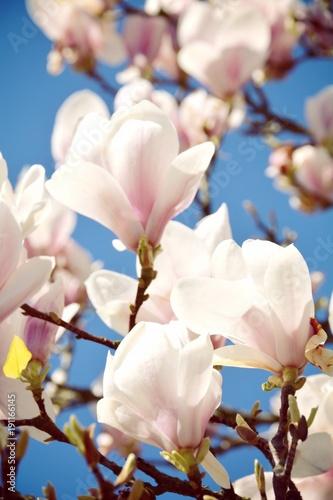Plakat Kwiat magnolii na wiosnę