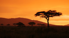 African Golden Sunset With Aca...