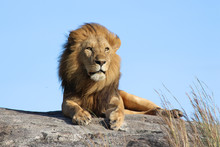 Male Lion On The Rocks In Sere...