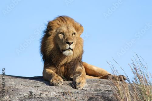 Fotobehang Leeuw Male lion on the rocks in Serengeti National park Tanzania