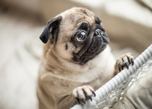 Sad Pug With Crying Begging Ey...
