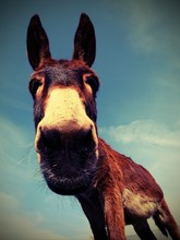 Brown Donkey With Long Ears Photographed With A Fisheye Lens