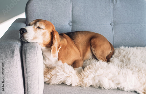fototapeta na lodówkę Beagle sleeps on cozy sofa