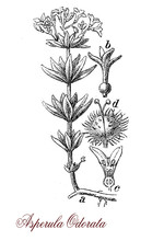 Vintage Engraving Of Galium Adoratum Or Asperula Odorata, Floering Plant With Sweet Scent, Used In Potpourri Or To Flavored Food.
