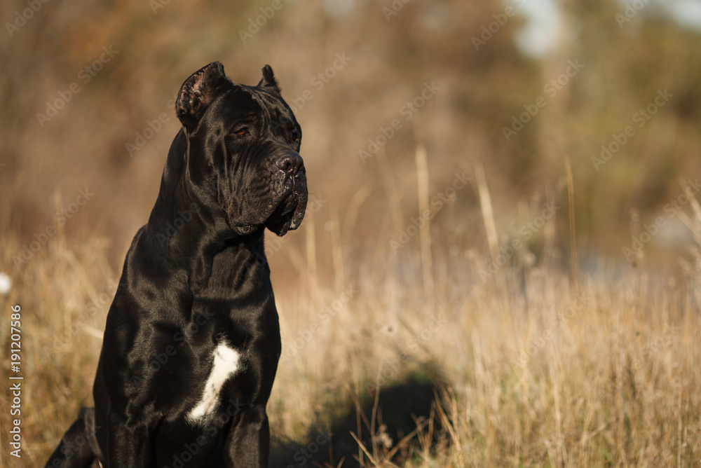 Large Dog Breed Cane Corso Black Beautiful Large Portrait Foto