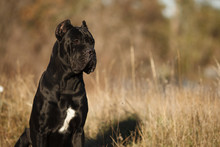 Large Dog Breed Cane Corso Bla...