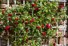 Bush Of Beautiful Red Roses Gr...