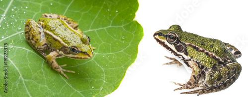Tuinposter Kikker rana esculenta - common european green frog on a dewy leaf