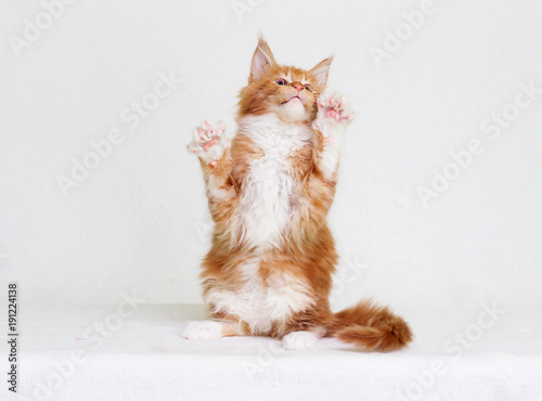 Maine Coon's red striped kitten stands on two of its hind legs Wallpaper Mural