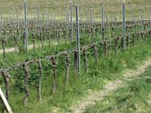 Bare Vineyard Field In Winter ...