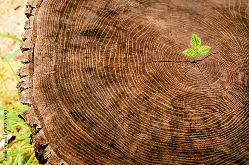 New young sprout growing from old wood tree stump Canvas Print