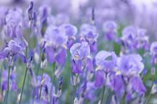 Fresh Violet Irises Lit By The...