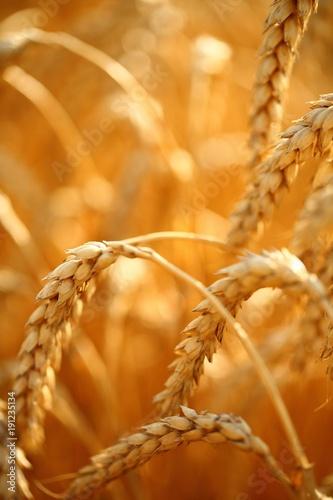 zlote-klosy-pszenicy-na-polu