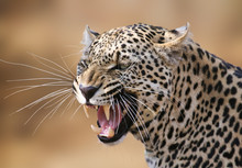 Snarling Leopard Portrait