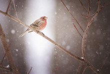 Close-up Of House Finch Perching On Branch During Snowfall