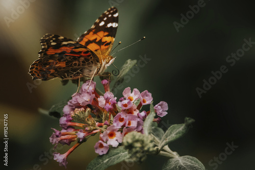 Poster Vlinder Close-up of butterfly pollinating on fresh flowers