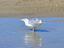 Seagull Drinking From A Puddle