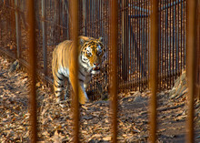 The Amur Tiger Is Looking At U...