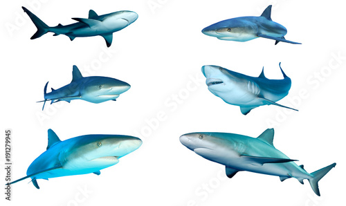 Photo Sharks cutout on white. Caribbean and Grey Reef Sharks isolated