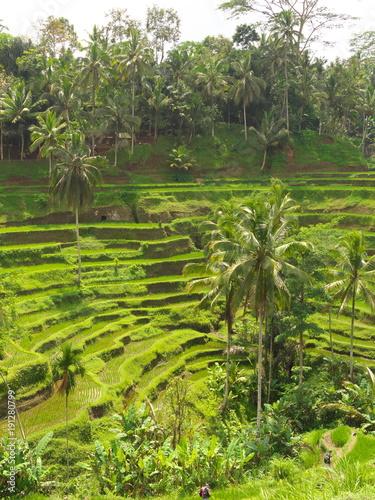 Photo Stands Bali Bali,Indonesia-October 3, 2016: Rice Terrace at Tegalalang village, Bali