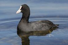 Bird, Water, Coot, Duck