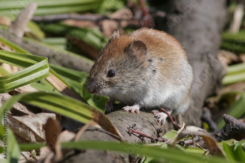 Cuadros en Lienzo  vole, animal, rodent, mammal, mouse,