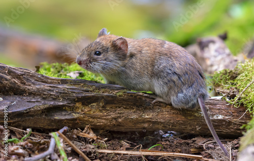 Fotografía  Bank vole posing on old deadwood branch in summer forest