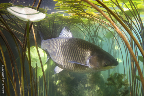 Tuinposter Waterlelies Freshwater fish grass carp (Ctenopharyngodon idella) in the beautiful clean pound. Underwater shot in the lake. Wild animal carp. Grasskarpfen in the nature habitat with nice backgroundand water lily.