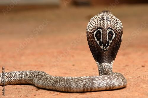 Südasiatische Kobra oder Brillenschlage in Sri Lanka