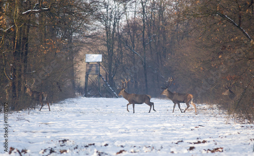 Photo sur Toile Chasse Red deers on snow in forest